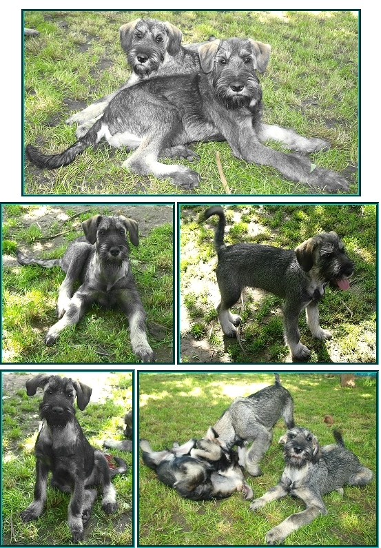 Schnauzer - Puppies for sale 2014 K  0