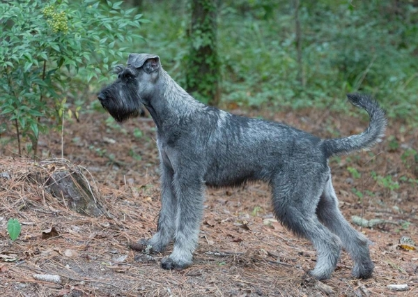 Schnauzer - Previous litters 2015.S 0
