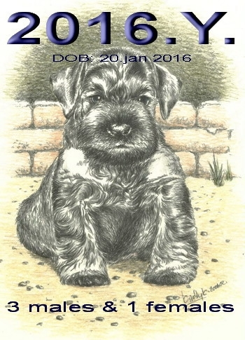 Schnauzer - Previous litters 2016.Y. 0