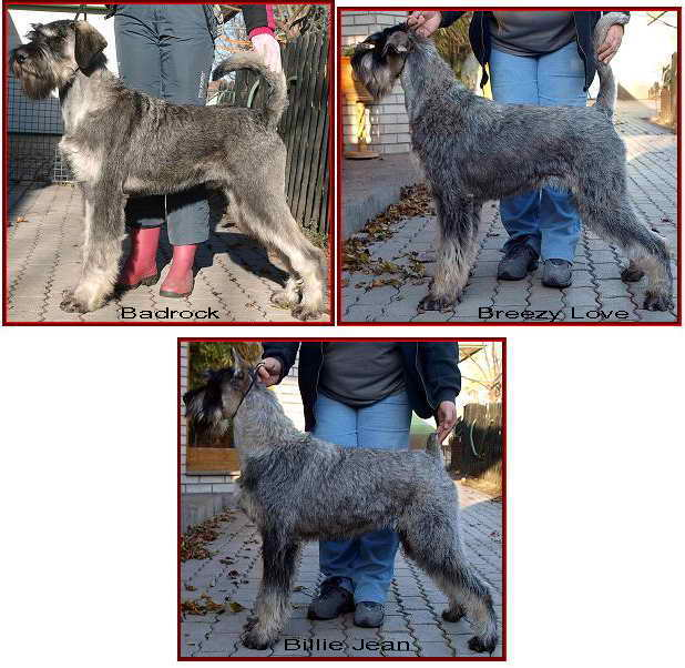 Schnauzer - Previous litters 2011.B. 0