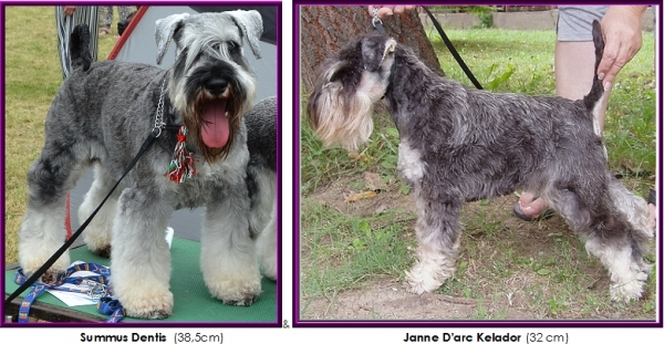 Schnauzer - Previous litters 2016.A. 0