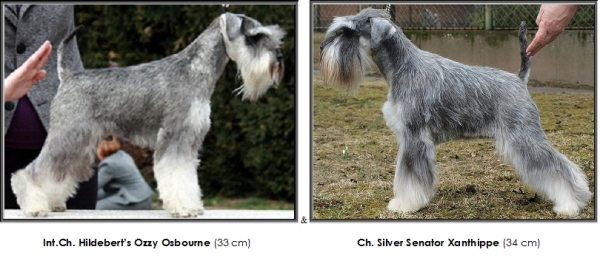 Schnauzer - Previous litters 2019.Q 0