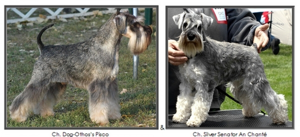 Schnauzer - Previous litters 2014.O. mini 0