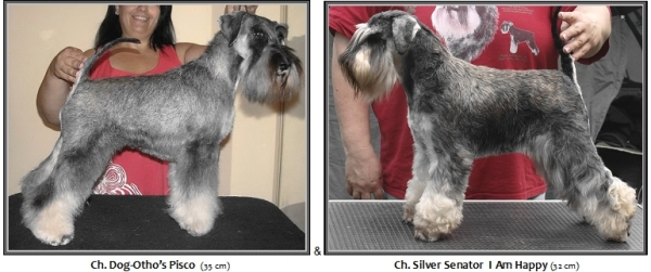 Schnauzer - Previous litters 2015.P. mini 0