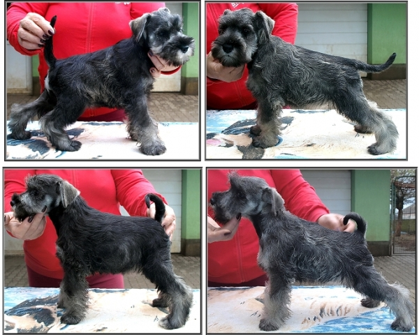 Schnauzer - Previous litters 2017.F. 0