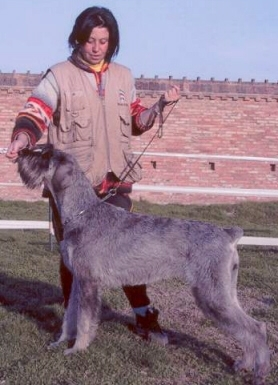 Schnauzer - Famous It.Ch.Silver Senator Wally Haley 0
