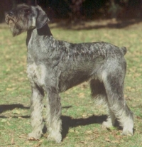 Schnauzer - It.Ch.Silver Senator Wally Haley - 11