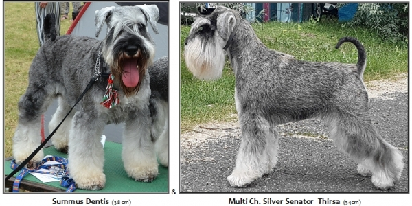 Schnauzer - Puppies for sale 2019.S 0