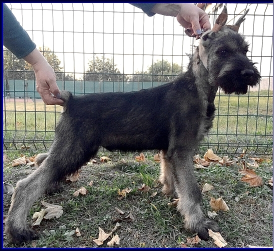 Schnauzer - Previous litters 2018. I. 0