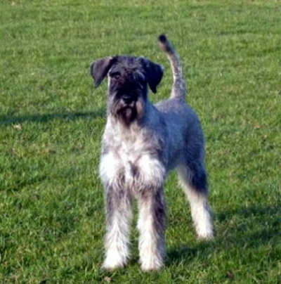 Schnauzer - Famous NL-DtCH. Silver Seantor Victorius Zaira 0
